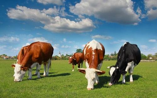 Török és a tehenek