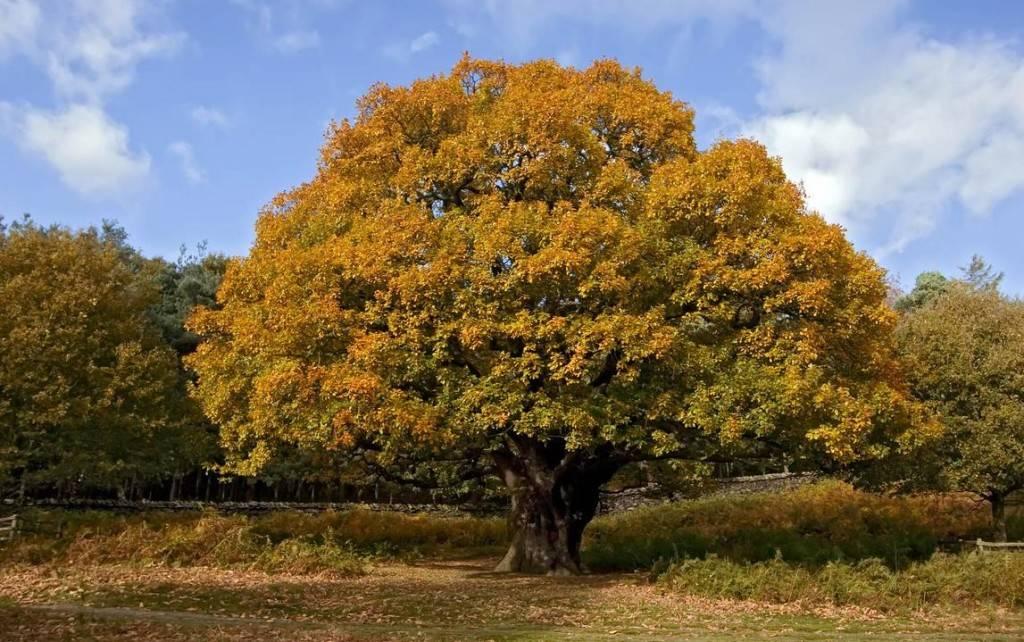 A tölgyfa születésnapja