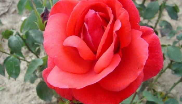 Nőnapi rózsa