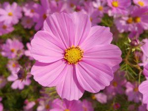 Nőnapi lila virág