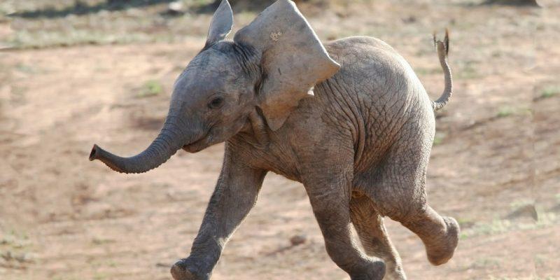 A csökönyös kiselefánt