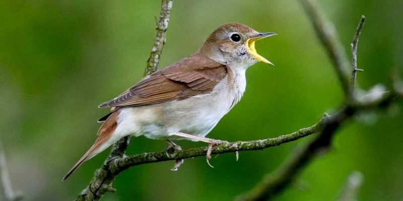 Zsoltáréneklő madár