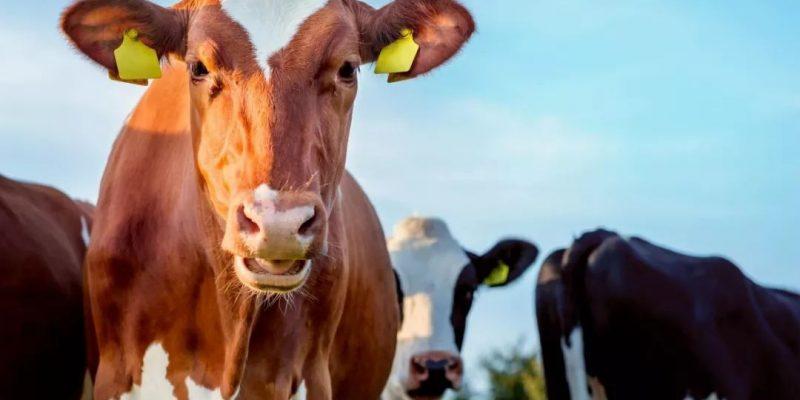 A két árva és a jóságos tehén