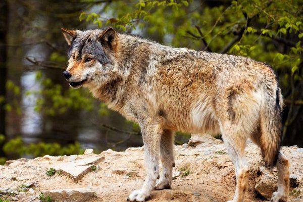 A tréfás farkas