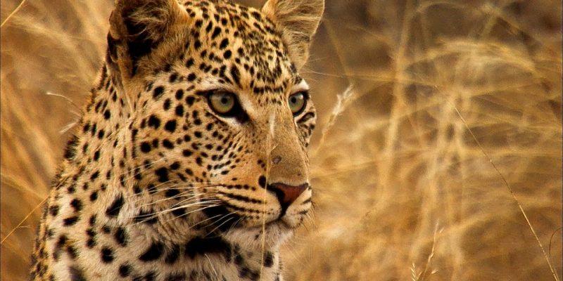 Miért lett foltos a leopárd?