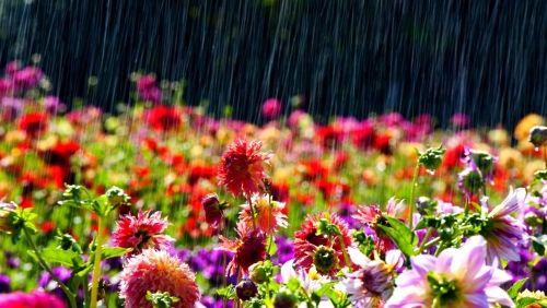 Medárdi eső