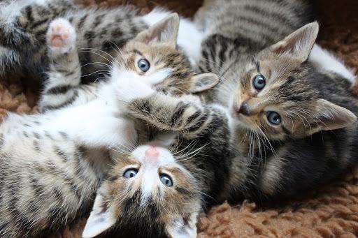 A kacorlaki macskák