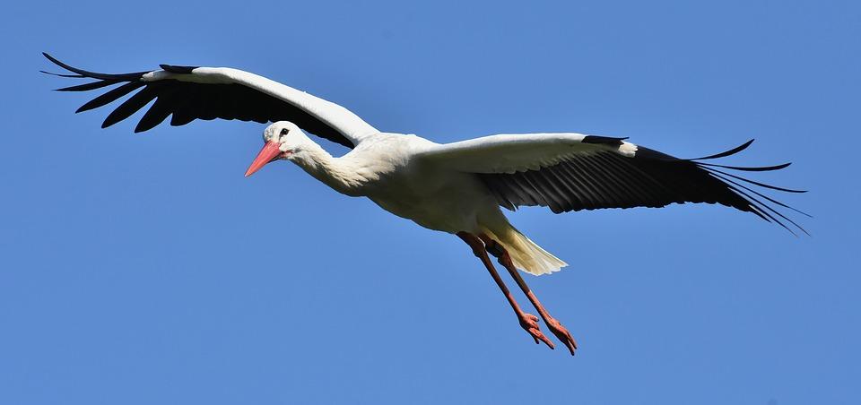 Hogyan röpült versenyt a gólya és a kolibri?