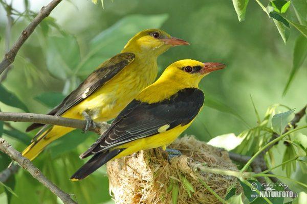 A sárgarigó fészke