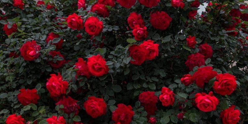 Sárkány a rózsabokorban