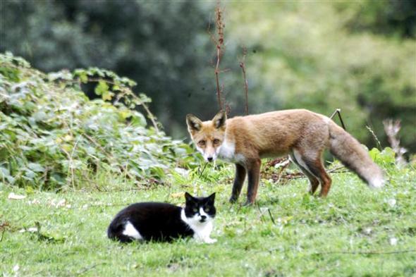 A róka meg a macska